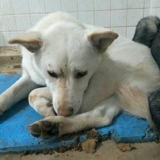 捕獲器に入った真っ白な可愛い野犬の女の子、助けを待っています!県外...