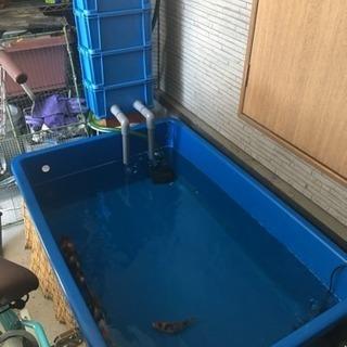 錦鯉生体と飼育セット