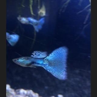 国産 稀少種 青色系しか生まれないガラスのブルーグラス 若魚 2ペア