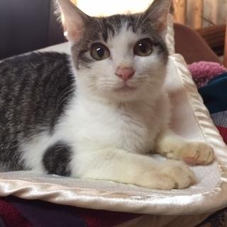 里親になってくださる方! 生後3~4ヵ月 オス 子猫 白ぶちトラ模様