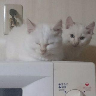 里親募集です!! 子猫ちゃん2匹をどうか
