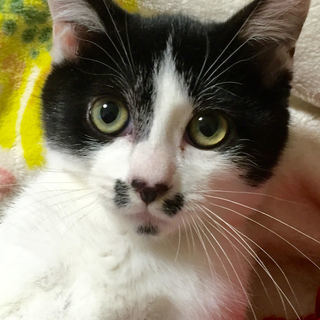 なつっこい子猫【お顔に四葉のクローバー】