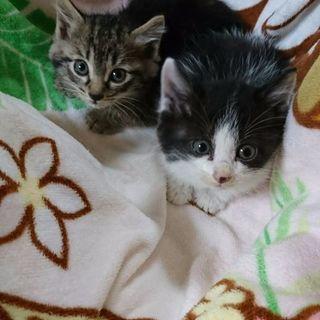 ☆ハチワレ♀とキジトラ♀のチビちゃん姉妹
