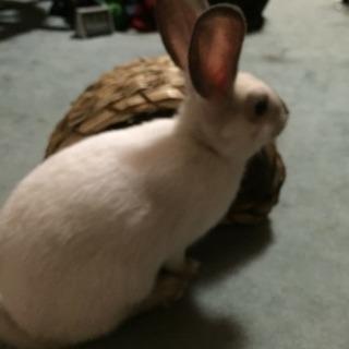 ミニウサギ2才♀の里親募集
