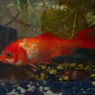 金魚 1匹 水槽 ポンプ 餌付き