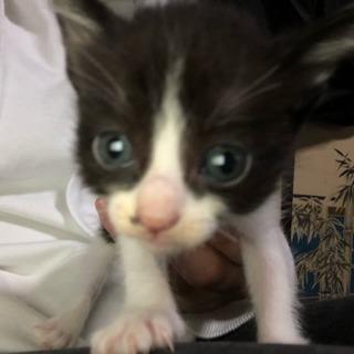 もう少しで2ヶ月になる子猫です!