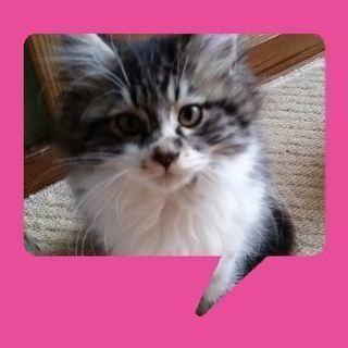 生後2ヶ月の子猫です。