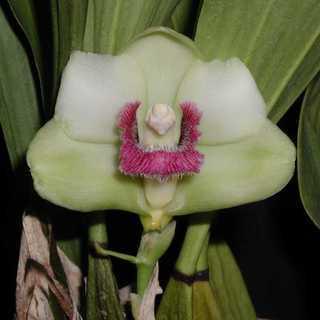 ビフレナリア ハリソニアエ〔Bif. harrisoniae〕【...