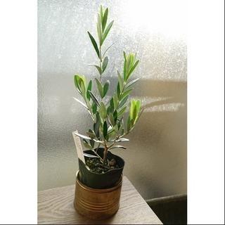 大人気 オリーブの木A 観葉植物