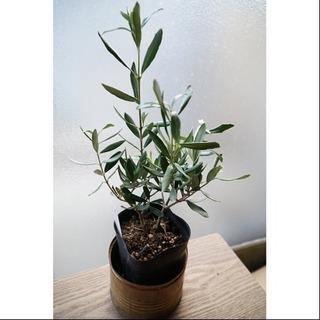 大人気 オリーブの木C 観葉植物