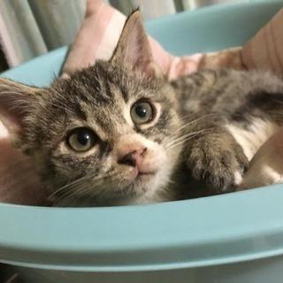 子猫★2ヶ月★オス2匹★トラ