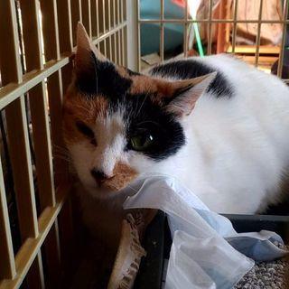 【仙台市青葉区】保護猫成猫♀の里親募集(三毛猫