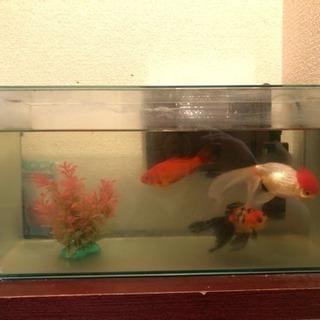 金魚  ガラス水槽セット