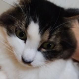 【代理投稿】☆猫メス 1~2才長毛キジ白
