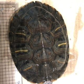 ミドリガメ  甲羅13センチ位