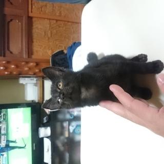 黒子猫 生後2ヶ月程です