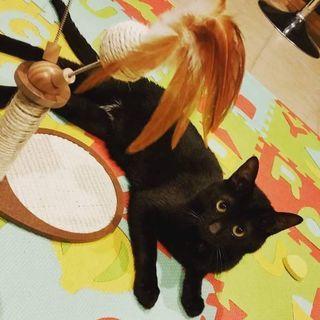 1歳の黒猫ちゃん♂去勢手術済み。ゲージやデオトイレ、水飲み付き