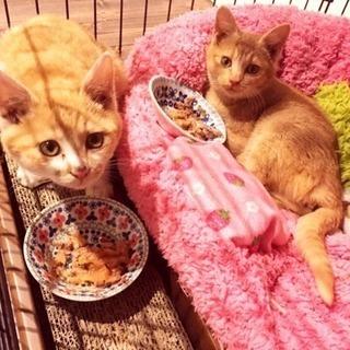 茶白と茶の兄妹生後3カ月 - 猫