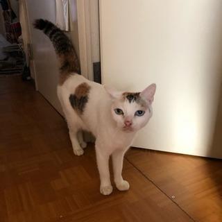 三毛猫のメス 5歳です