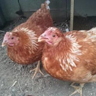 生後4ヶ月ほどの雌鶏です。そろそろ卵を産む時期になりました。大切に...