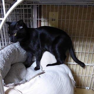 【募集停止】(去勢済)黒猫の6ヵ月の男の子・元気で人懐こいです