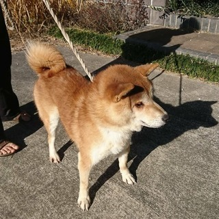 元気いっぱい柴犬2歳半♂