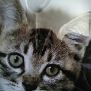 生後1ヶ月のキジ雄子猫です