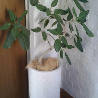 観葉植物 ゴムの木差し上げます