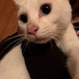 生後4ヶ月の白猫オッドアイと白猫ブルーアイ推定8ヶ月くらい