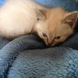 シャム猫?産まれて2ヶ月くらいの猫です