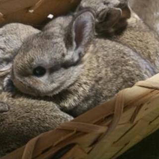 ネザーランドドワーフとミニウサギの子