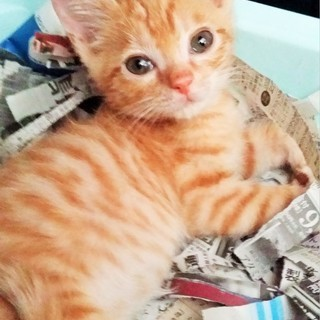 ほっくり可愛いチャトラ子猫 オス