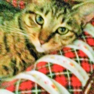 初心者歓迎 べた馴れ性格美人子猫めす