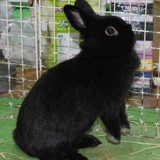 生後19ヶ月位の黒ウサギ(メス)の里親募集