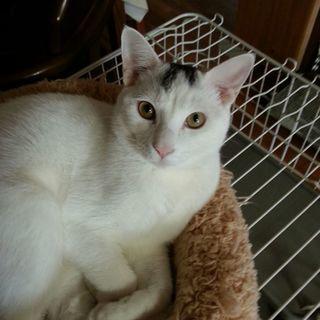 大きな猫です!昨年4月生まれの男の子、真っ白い体に、長い尻尾、頭の...