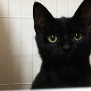 猫オス  生後4ヶ月の黒猫