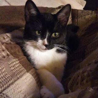 人間の毛繕いしてくれる黒白猫・生後4ヶ月オス