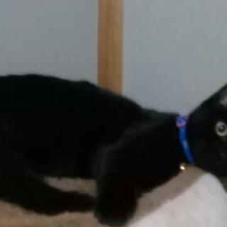 生後6ヶ月 雌の黒猫の里親募集。