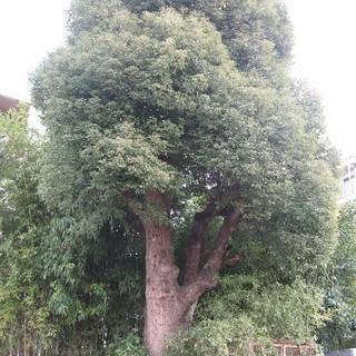 大樹 楠の木 高さ9ⅿ 幹径80㎝ 幹回寸法240㎝ 差し上げます。