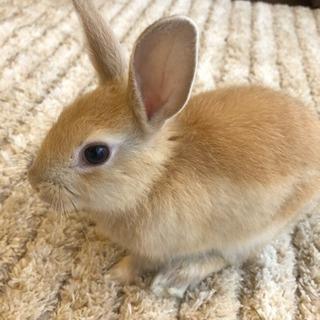 生後2ヶ月のミニウサギです