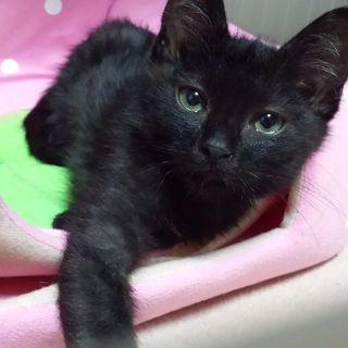 1月28日(日)大安❤️の猫の譲渡会に出します。黒猫男の子 性後3...