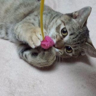 1月28日(日)大安❤️の猫の譲渡会に出します。キラリちゃん生後6...