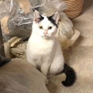 パンダみたいな白黒子猫