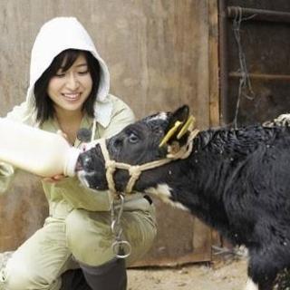 牧場で牛乳搾りませんか?年収UP、正社員で社宅あり!