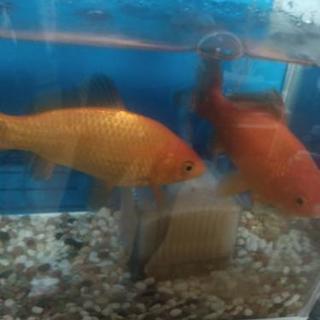 金魚2匹里親募集