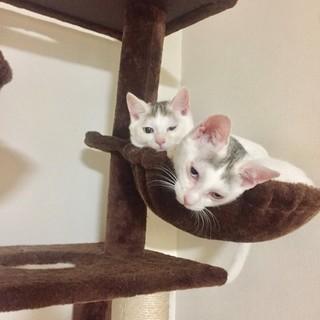 美猫の白猫~オットアイの兄弟アナ&ヨータちゃん♪三か月です。