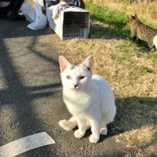 美猫の白猫~オットアイのお姉ちゃん猫ルビーちゃん♪ 三か月です。