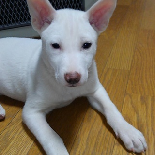 可愛い仔犬レンです。幸せを運びます。
