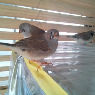 キンカチョウの若鳥 オス 3羽