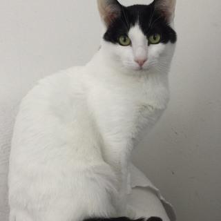 8カ月 シャイなツンデレ 猫が大好き♀チリちゃん